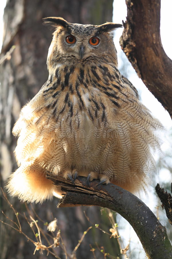 Coruja de águia euro-asiática imagem de stock royalty free
