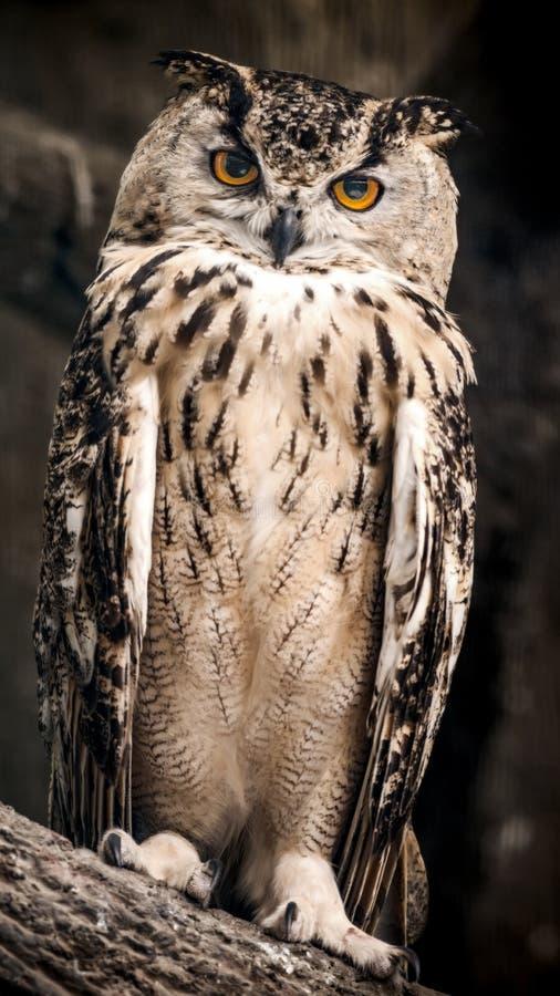 A coruja de águia euro-asiática adulta senta-se em um ramo de árvore fotografia de stock