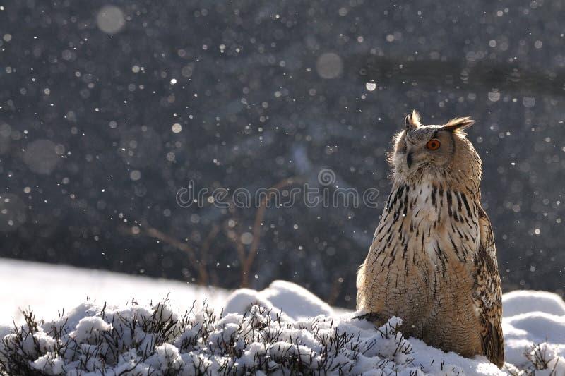 Coruja de águia euro-asiática que senta-se na terra ao nevar fotos de stock royalty free