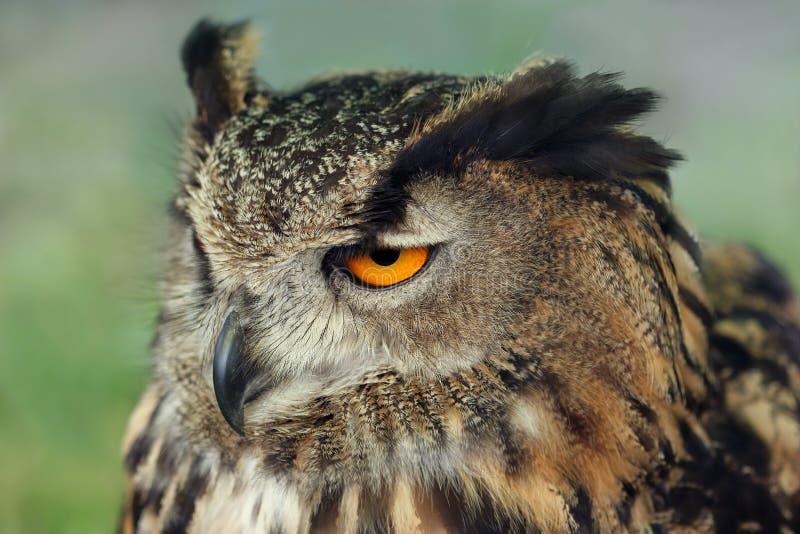 Coruja de águia européia imagem de stock