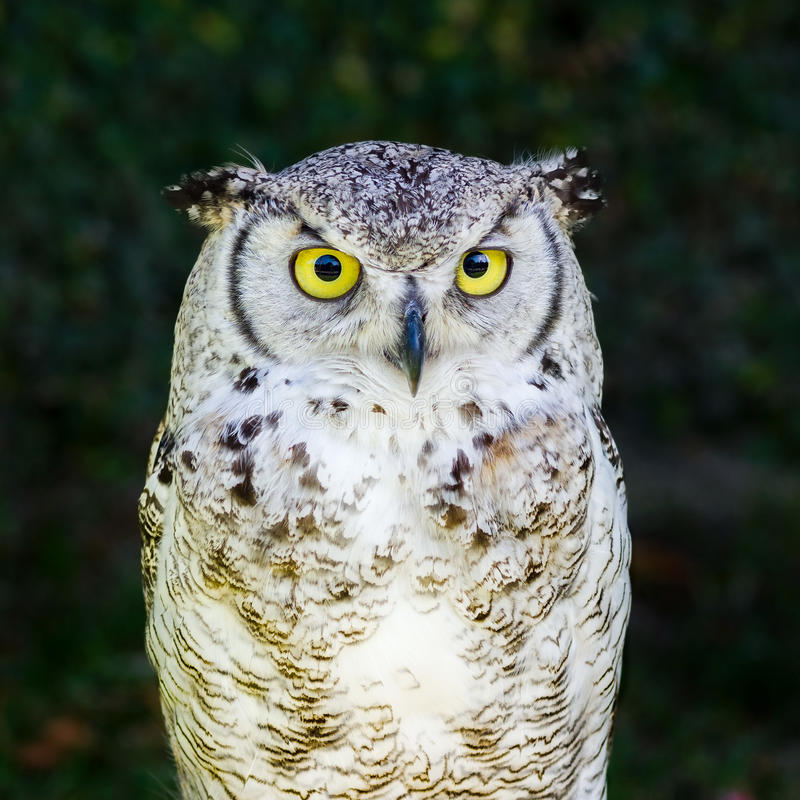 Coruja de águia européia imagem de stock royalty free