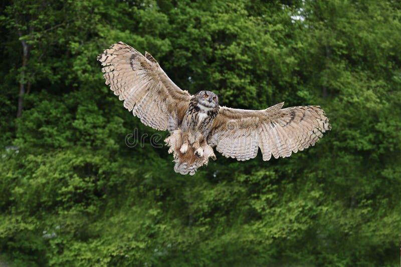 Coruja de águia européia impressionante no vôo fotos de stock royalty free