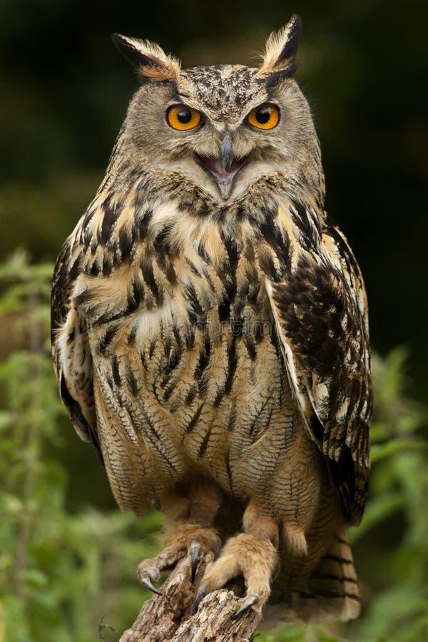 Coruja de águia européia - montanhas de Scotland imagens de stock