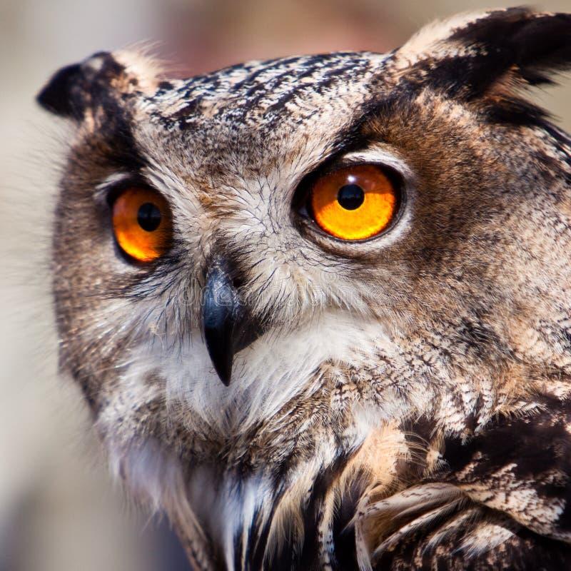 Coruja de águia grande no close up imagens de stock
