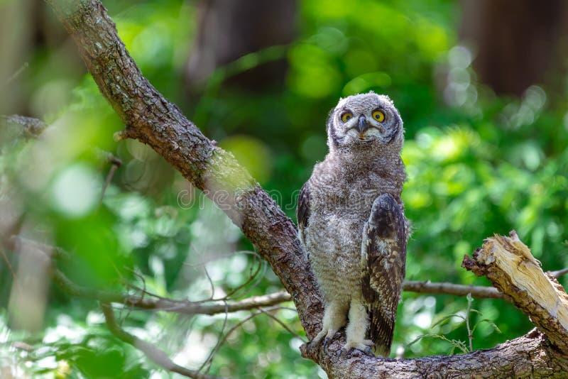 Coruja de águia manchada que senta-se em um ramo de árvore em Cape Town fotografia de stock royalty free