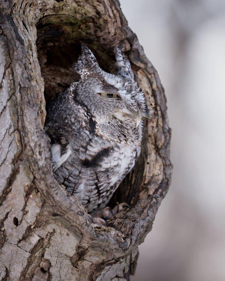 Coruja de cantada no furo na árvore fotos de stock royalty free