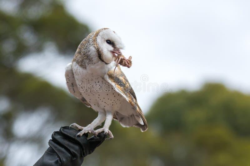 A coruja de celeiro bonito, Tyto alba, com os grandes olhos que sentam-se na luva de couro travou um rato e come-a Caçador da cor imagens de stock