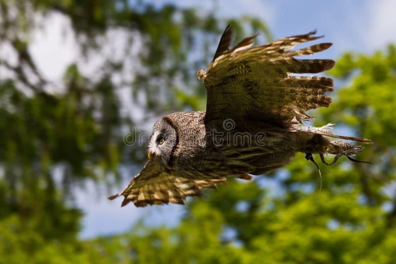 A coruja de celeiro ocidental, Tyto alba em um parque natural fotos de stock