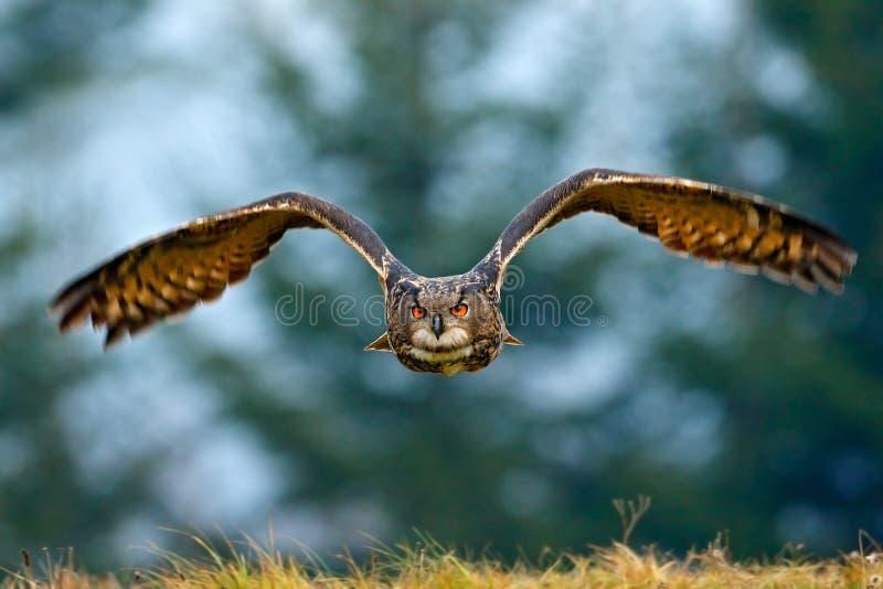 Coruja de Eagle do eurasian do voo com as asas abertas com o floco da neve na floresta nevado durante o inverno frio Cena dos ani foto de stock