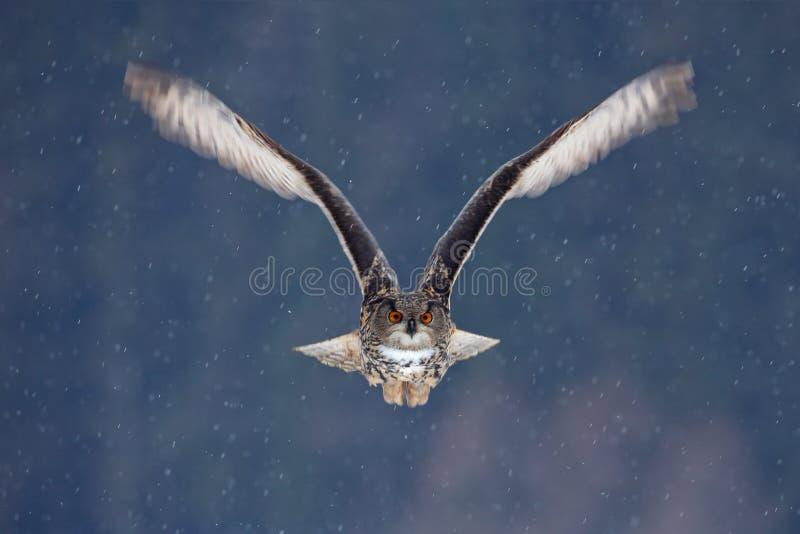 Coruja de Eagle do eurasian do voo com as asas abertas com o floco da neve na floresta nevado durante o inverno frio Cena dos ani fotos de stock royalty free