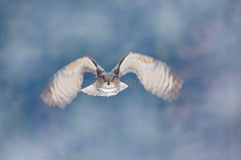 Coruja de Eagle do eurasian do voo com as asas abertas com o floco da neve na floresta nevado durante o inverno frio Cena dos ani imagem de stock