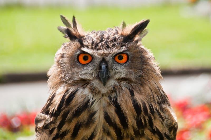 Coruja de Eagle do europeu imagens de stock royalty free