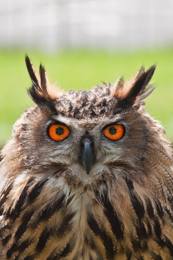 Coruja de Eagle do europeu fotografia de stock
