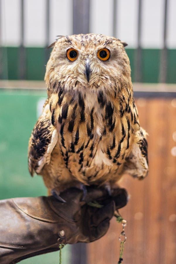 Coruja de Eagle na mão dos falcoeiros imagens de stock