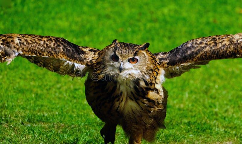 Coruja de Eagle no parque dos animais selvagens que executa para visitantes fotografia de stock