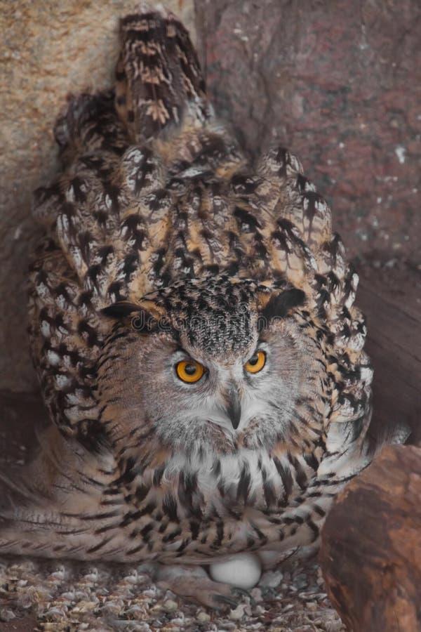 Coruja de Eagle nos ovos dos portais do ninho A coruja com olhos claros e um olhar irritado ? uma grande coruja predat?rio imagens de stock