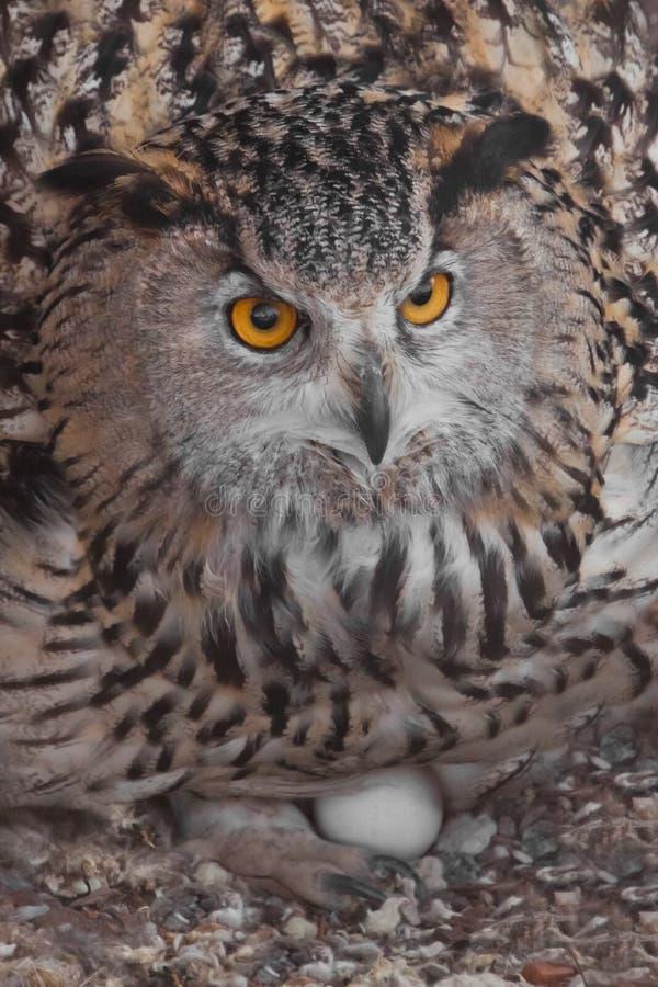 Coruja de Eagle nos ovos dos portais do ninho A coruja com olhos claros e um olhar irritado ? uma grande coruja predat?rio imagem de stock royalty free