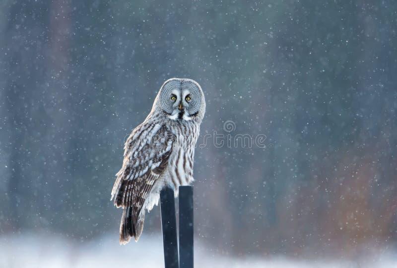 Coruja de grande cinza que senta-se no cargo na neve de queda fotos de stock