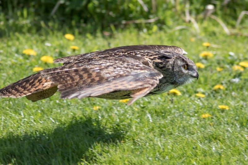 Coruja em voo que caça perto da terra Pássaro do voo da rapina fotografia de stock royalty free