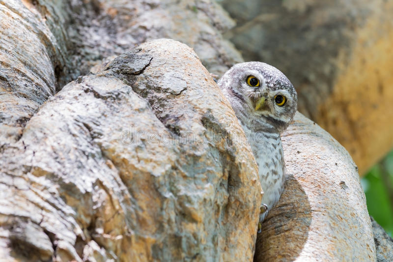 A coruja esconde no furo da árvore fotos de stock