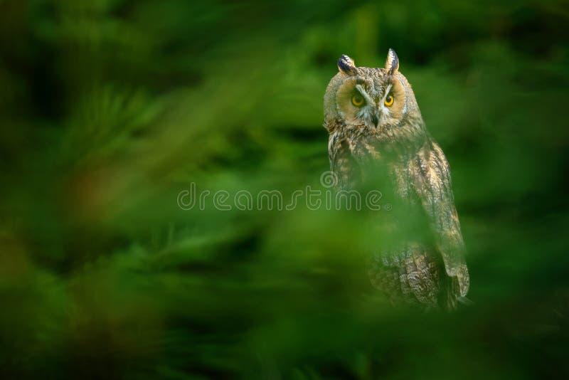 Coruja escondida na cena dos animais selvagens da floresta do habitat da natureza Pássaro na árvore spruce Natal com coruja sitt  fotografia de stock royalty free