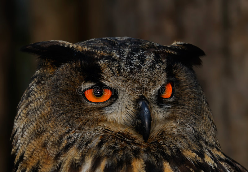 Coruja Eyed alaranjada na noite fotos de stock