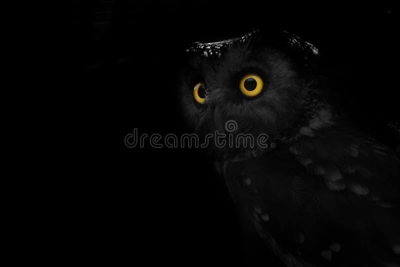 Coruja eyed grande, coruja olhar fixamente imagens de stock
