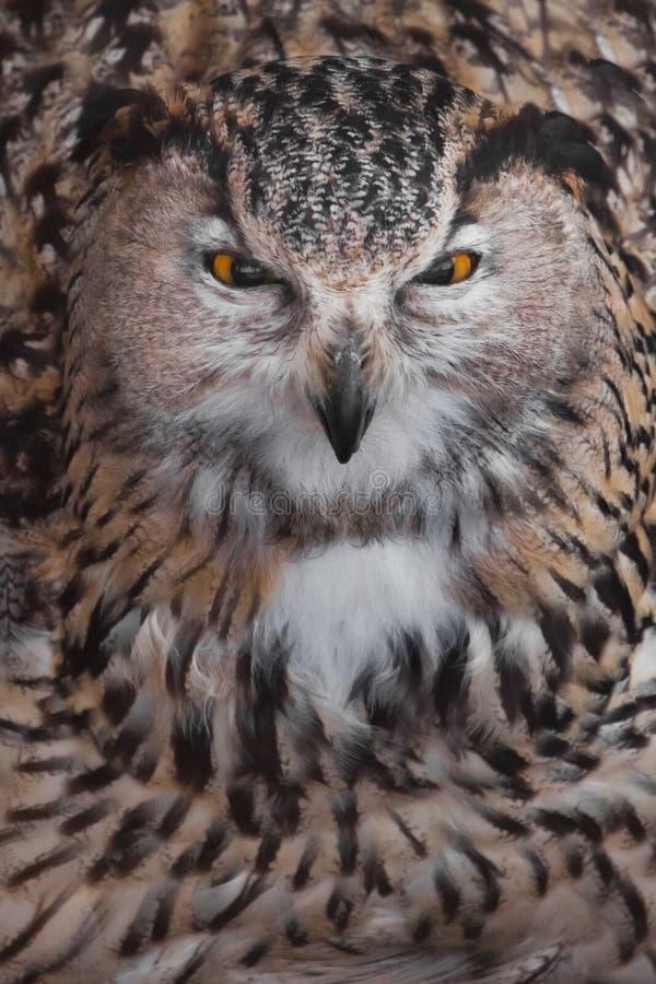 A coruja grande sida vesgo e desprezada A coruja com olhos claros e um olhar irritado ? uma grande coruja predat?rio fotografia de stock