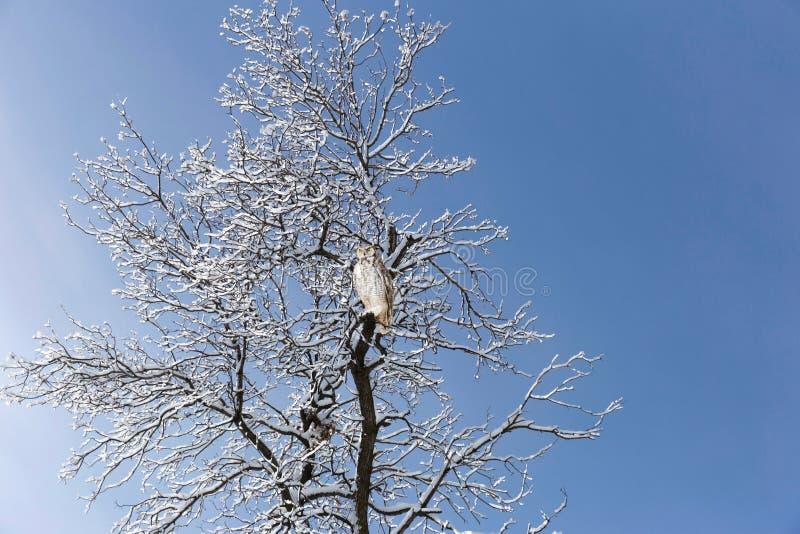 Coruja horned cinzenta empoleirada na árvore coberto de neve imagem de stock royalty free