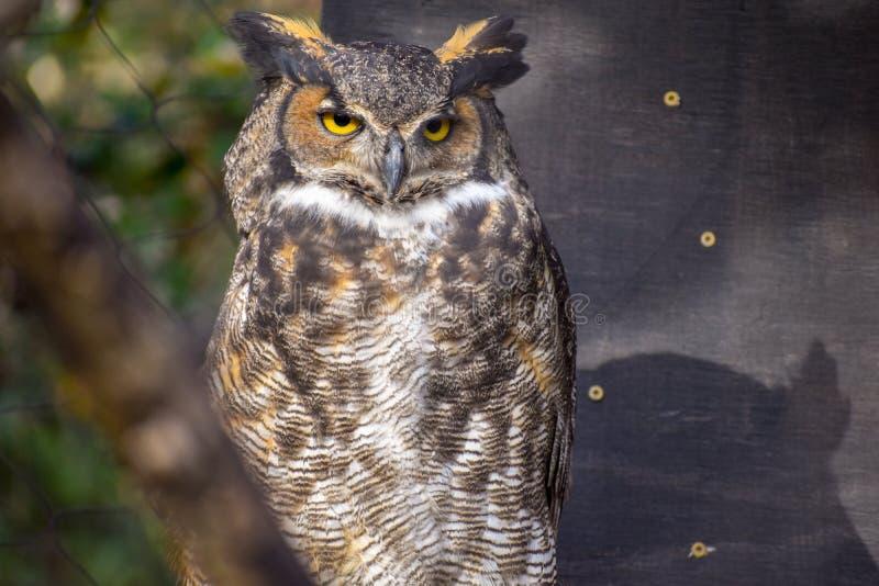 Coruja Horned com os olhos brilhantes que olham fora à direita imagem de stock