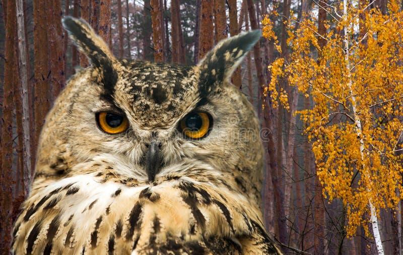 A coruja horned na perspectiva da floresta do outono imagens de stock royalty free