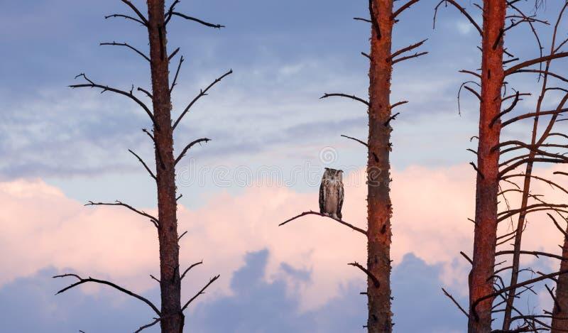 A coruja horned senta-se em um pinho no por do sol contra o céu com nuvens imagens de stock
