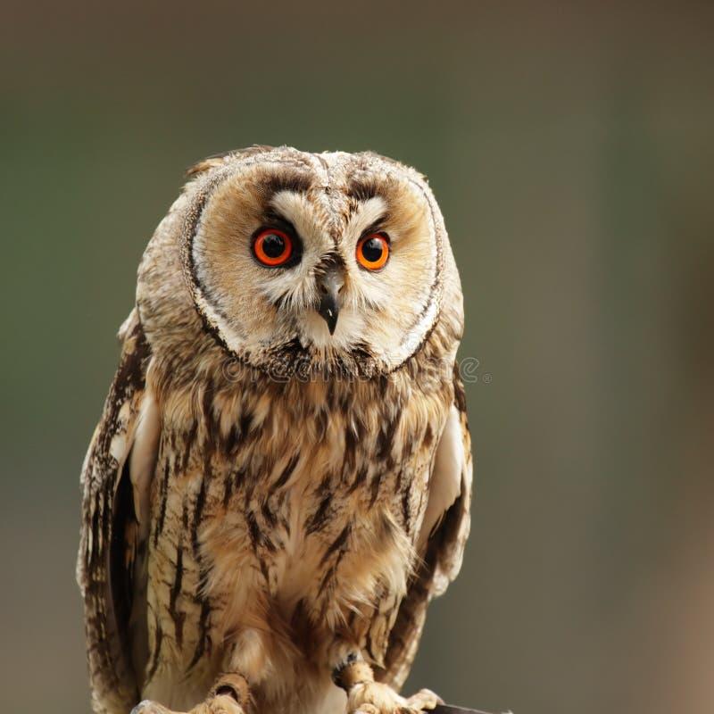 Coruja Long-eared (otus do Asio) fotografia de stock royalty free