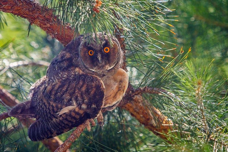 coruja Longo-orelhuda que senta-se em um ramo do pinho fotografia de stock royalty free