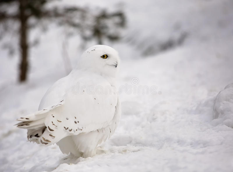 Coruja nevado fotografia de stock