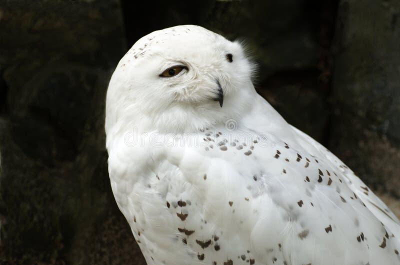 Download Coruja nevado branca imagem de stock. Imagem de animal - 10063459