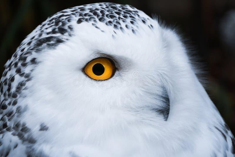 Coruja nevado branca de vista s?bia com o retrato alaranjado grande dos olhos fotografia de stock