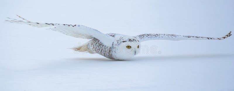 Coruja nevado de voo fotos de stock