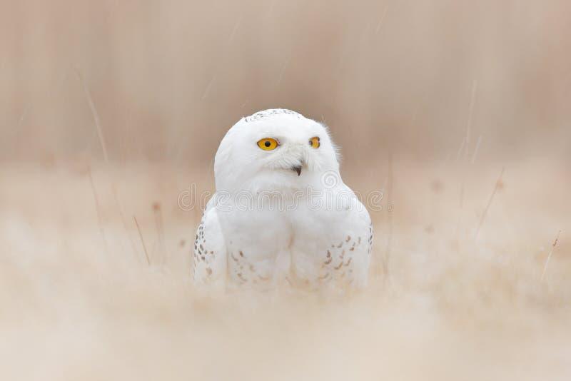 Coruja nevado escondida no prado, p?ssaro com os olhos amarelos que sentam-se na grama Cena com primeiro plano e fundo claros, na fotografia de stock royalty free