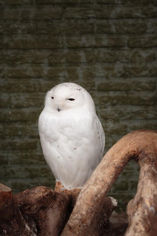 Coruja nevado masculina imagem de stock