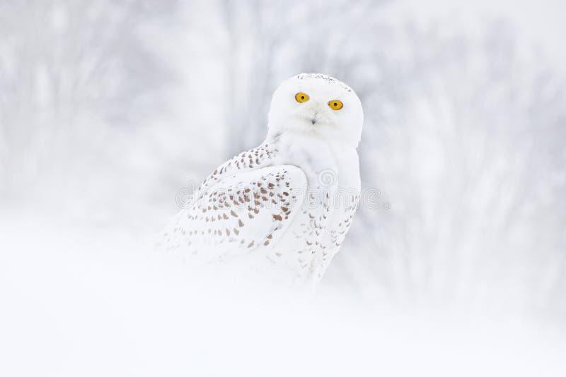 Coruja nevado que senta-se na neve no habitat inverno frio com pássaro branco Cena dos animais selvagens da natureza, Manitoba, C foto de stock royalty free