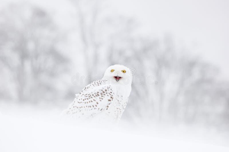 Coruja nevado que senta-se na neve no habitat inverno frio com pássaro branco Cena dos animais selvagens da natureza, Manitoba, C fotos de stock royalty free