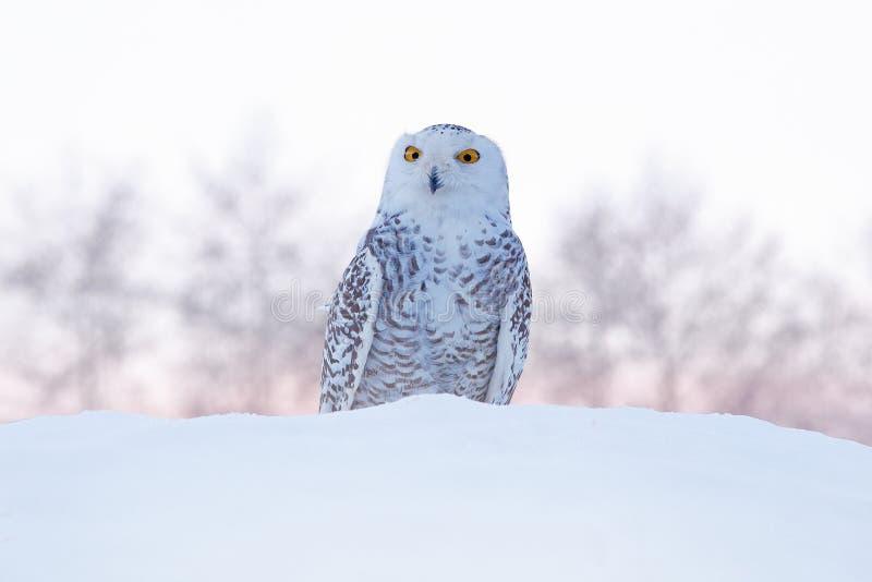 Coruja nevado que senta-se na neve no habitat inverno frio com p?ssaro branco Cena dos animais selvagens da natureza, Manitoba, C fotos de stock