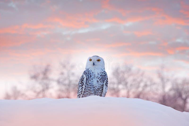 Coruja nevado que senta-se na neve no habitat inverno frio com p?ssaro branco Cena dos animais selvagens da natureza, Manitoba, C fotos de stock royalty free
