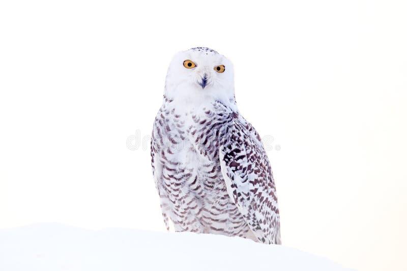 Coruja nevado que senta-se na neve no habitat inverno frio com p?ssaro branco Cena dos animais selvagens da natureza, Manitoba, C imagem de stock