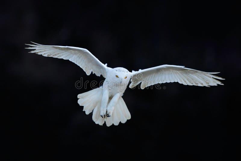 Coruja nevado, scandiaca de Nyctea, voo branco na floresta escura, cena com asas abertas, Canadá do pássaro raro da ação do inver imagens de stock royalty free