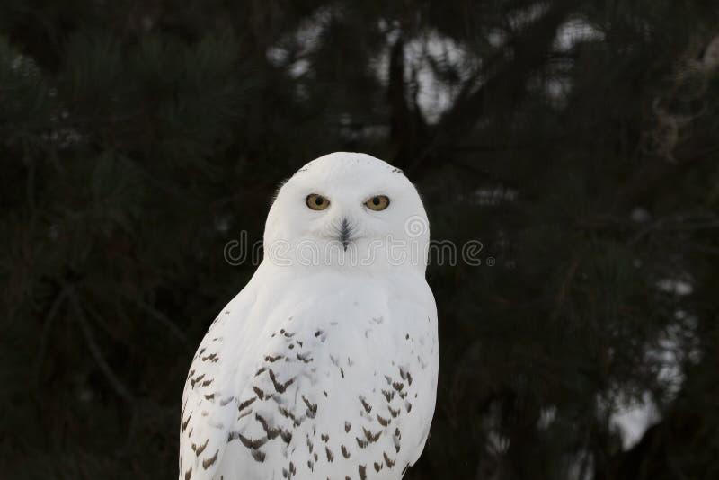 Coruja nevado, scandiacus do bubão, fim acima do retrato com olho e detalhe da pena mais o fundo borrado da neve inverno scotland imagens de stock