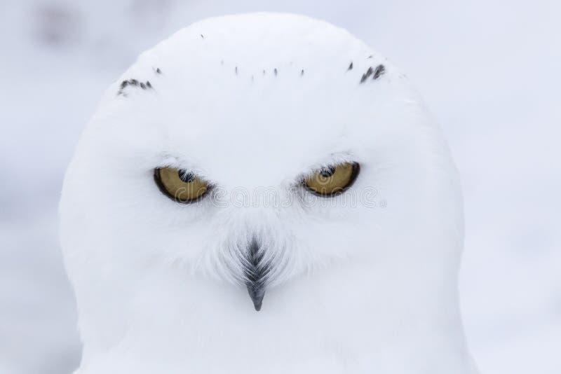 Coruja nevado, scandiacus do bubão, fim acima do retrato com olho e detalhe da pena mais o fundo borrado da neve inverno scotland foto de stock royalty free