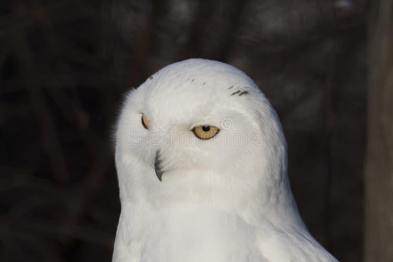 Coruja nevado, scandiacus do bubão, fim acima do retrato com olho e detalhe da pena mais o fundo borrado da neve inverno scotland imagem de stock