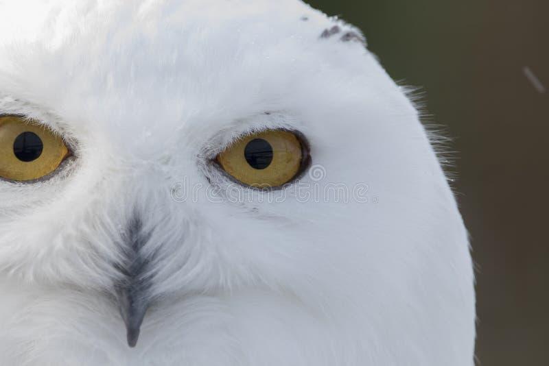 Coruja nevado, scandiacus do bubão, fim acima do retrato com olho e detalhe da pena mais o fundo borrado da neve inverno scotland fotografia de stock royalty free